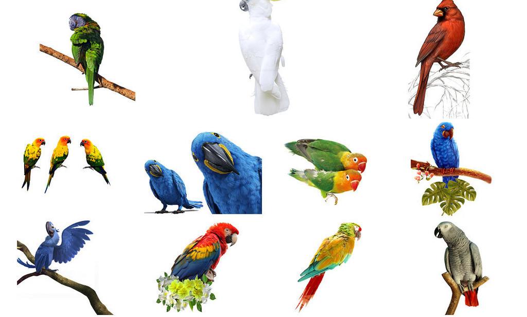 鸟类动物飞禽鹦鹉巴哥设计素材1