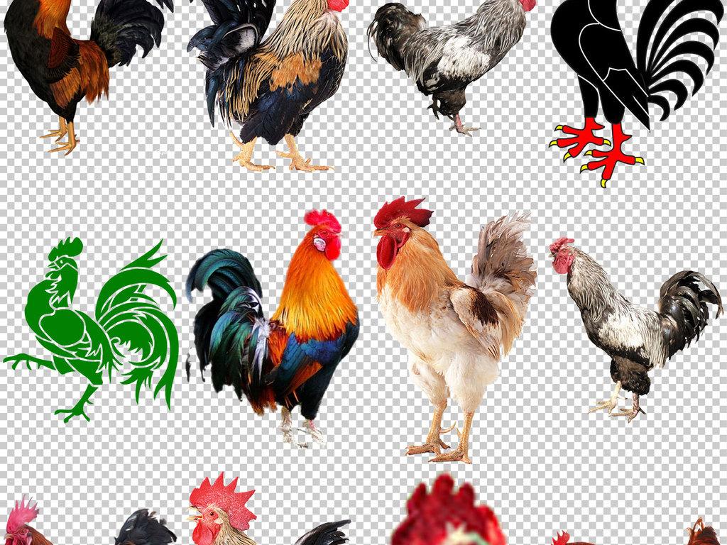 设计元素 自然素材 动物 > 各种公鸡图片免抠png透明图层素材  版权图