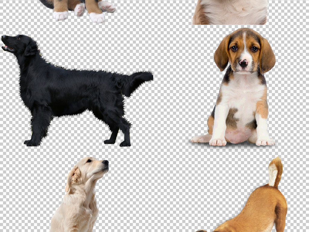 我图网提供精品流行各种狗图片免抠png透明图层素材下载,作品模板源文件可以编辑替换,设计作品简介: 各种狗图片免抠png透明图层素材 位图, RGB格式高清大图,使用软件为 Photoshop CC(.psd) 拉布拉多犬