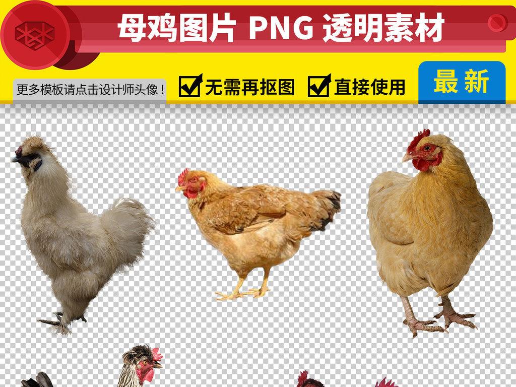 我图网提供精品流行各种母鸡图片免抠png透明素材下载,作品模板源文件可以编辑替换,设计作品简介: 各种母鸡图片免抠png透明素材 位图, RGB格式高清大图,使用软件为 Photoshop CC(.psd) 母鸡卡通图片大全 母鸡下蛋 老母鸡 农家老母鸡 老母鸡漫画 正宗老母鸡 水乡老母鸡 脱毛老母鸡 东北老母鸡