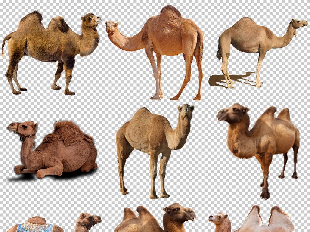 psd)                                  沙漠骆驼图片骆驼卡通图片