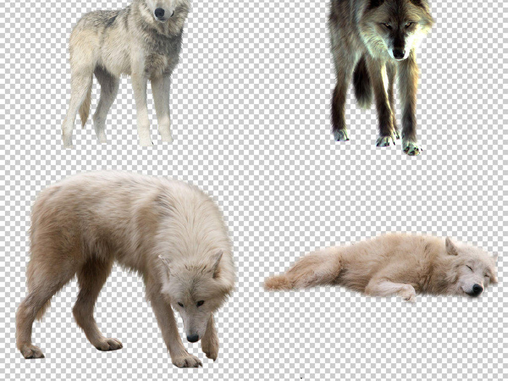 各种狼图片免抠png透明图层素材图片下载psd素材-动物