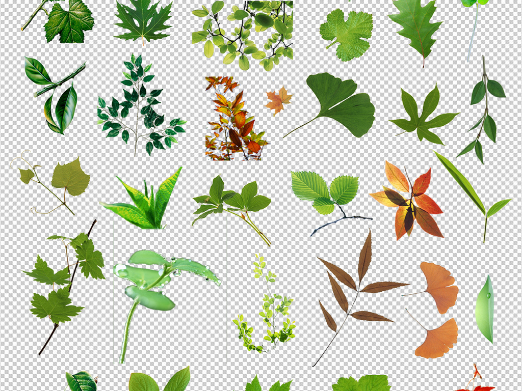 白花小雏菊植物叶子树叶素材树叶素材枫树素材枫树图片红枫树卡通枫树