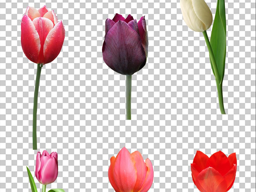 手绘网店装扮素材平面设计平面广告设计花朵素材花朵素材郁金香花朵