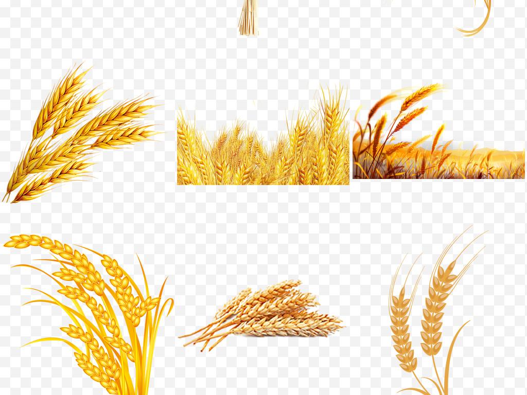 秋天丰收小麦稻谷农产品食物png免扣素材图片下载png素材
