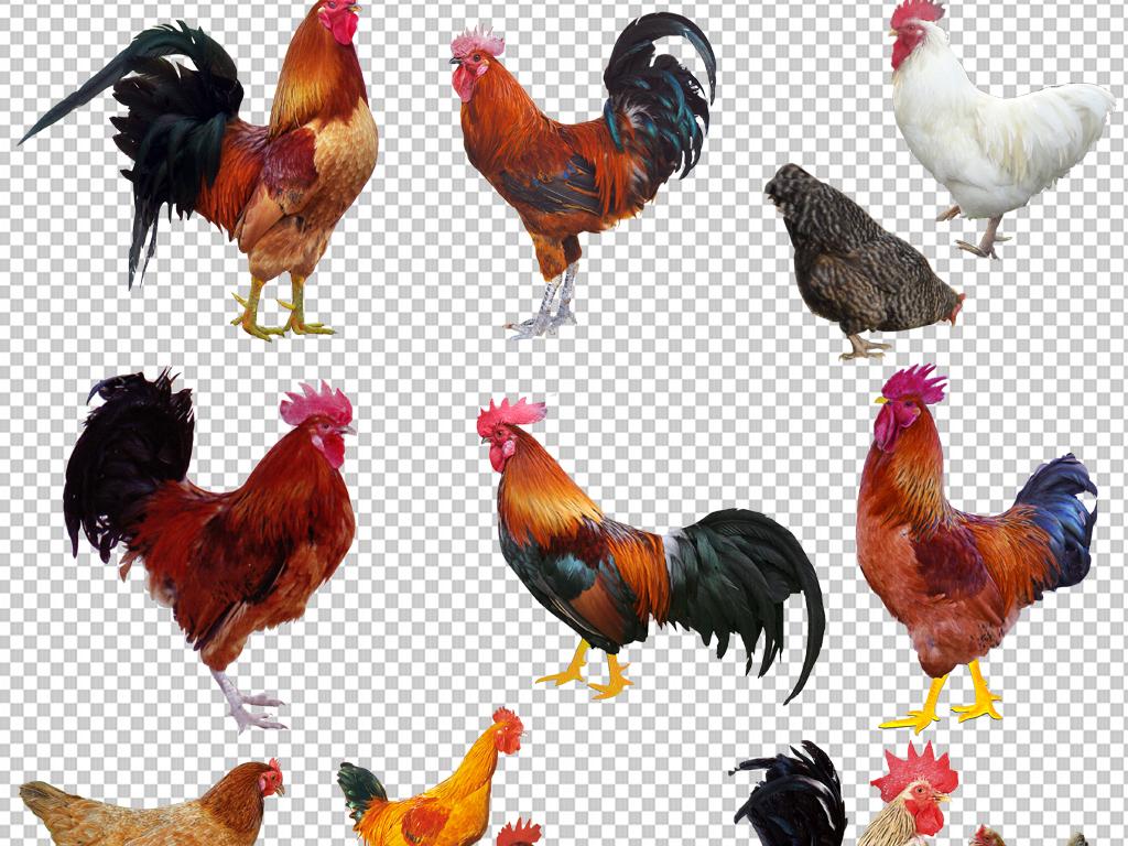 我图网提供精品流行大公鸡png免抠素材透明元素下载,作品模板源文件可以编辑替换,设计作品简介: 大公鸡png免抠素材透明元素 位图, RGB格式高清大图,使用软件为 Photoshop CS3(.png) 公鸡
