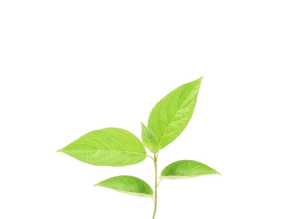树叶素材枝叶叶脉图片植物叶子唯美背景