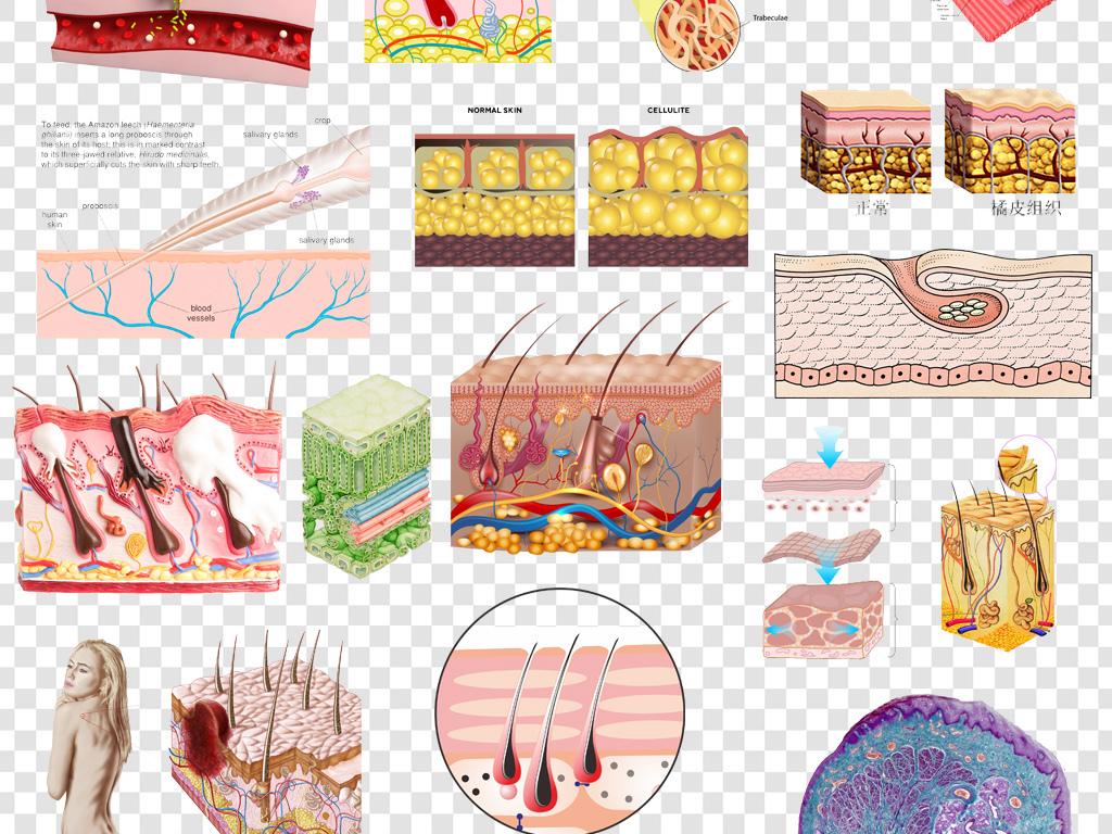 皮肤组织结构示意图png素材