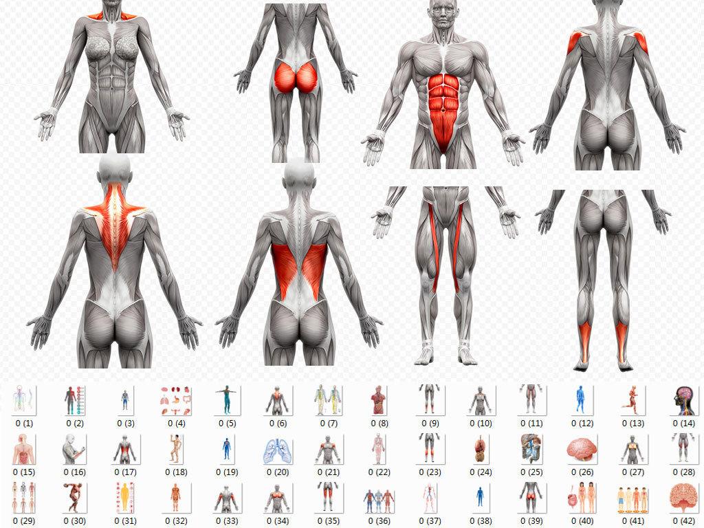 人体肌肉分布图_人体肌肉器官分布图png透明背景免扣素材