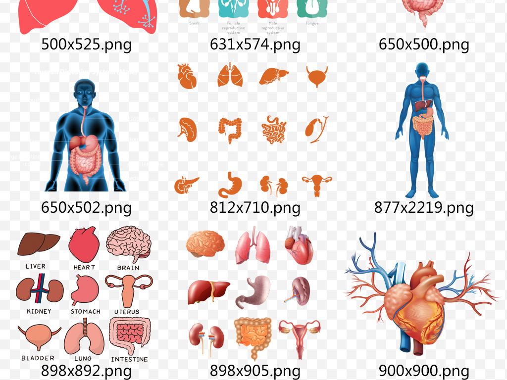 人体内脏器官心脏肝肺脾png透明素材