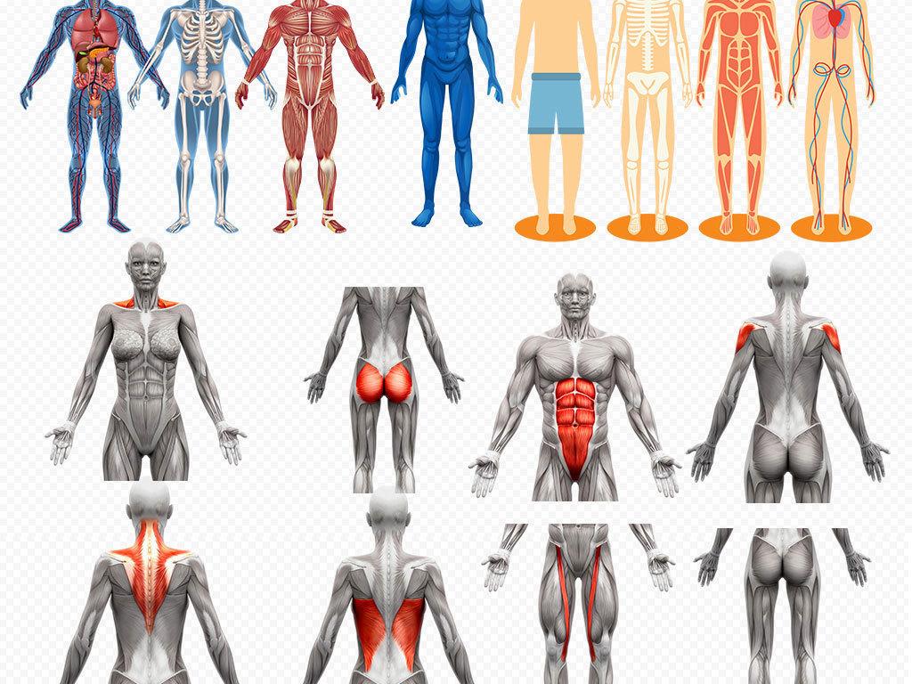 人体肌肉分布图_人体肌肉器官穴位分布图png素材