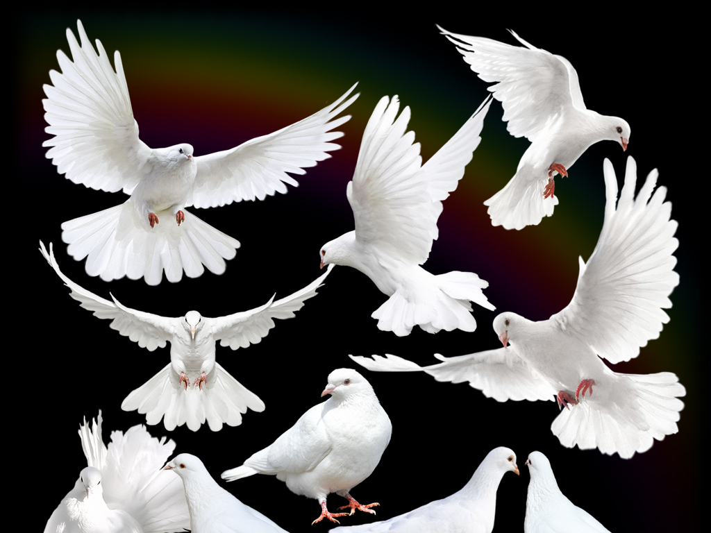 放飞梦想飞翔的白鸽鸽子信鸽素材图片下载psd素材 动物图片