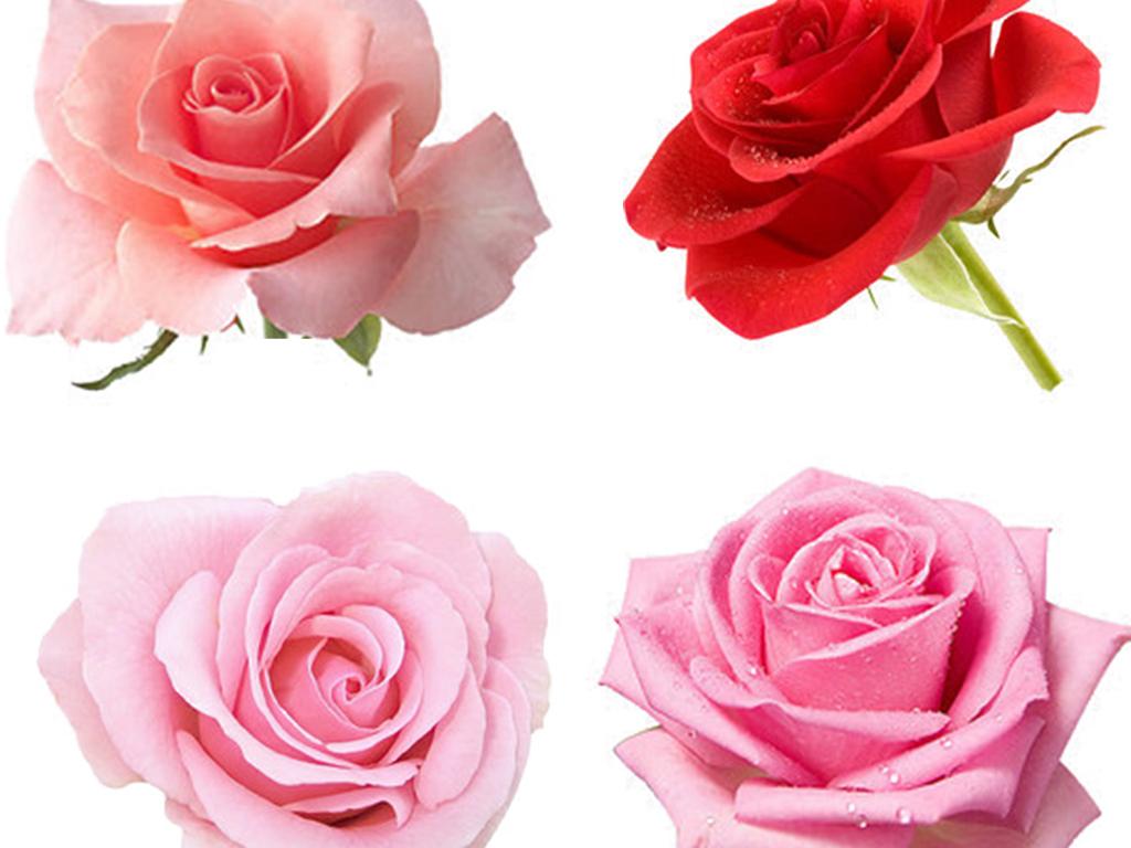 单朵玫瑰花高清免抠图素材