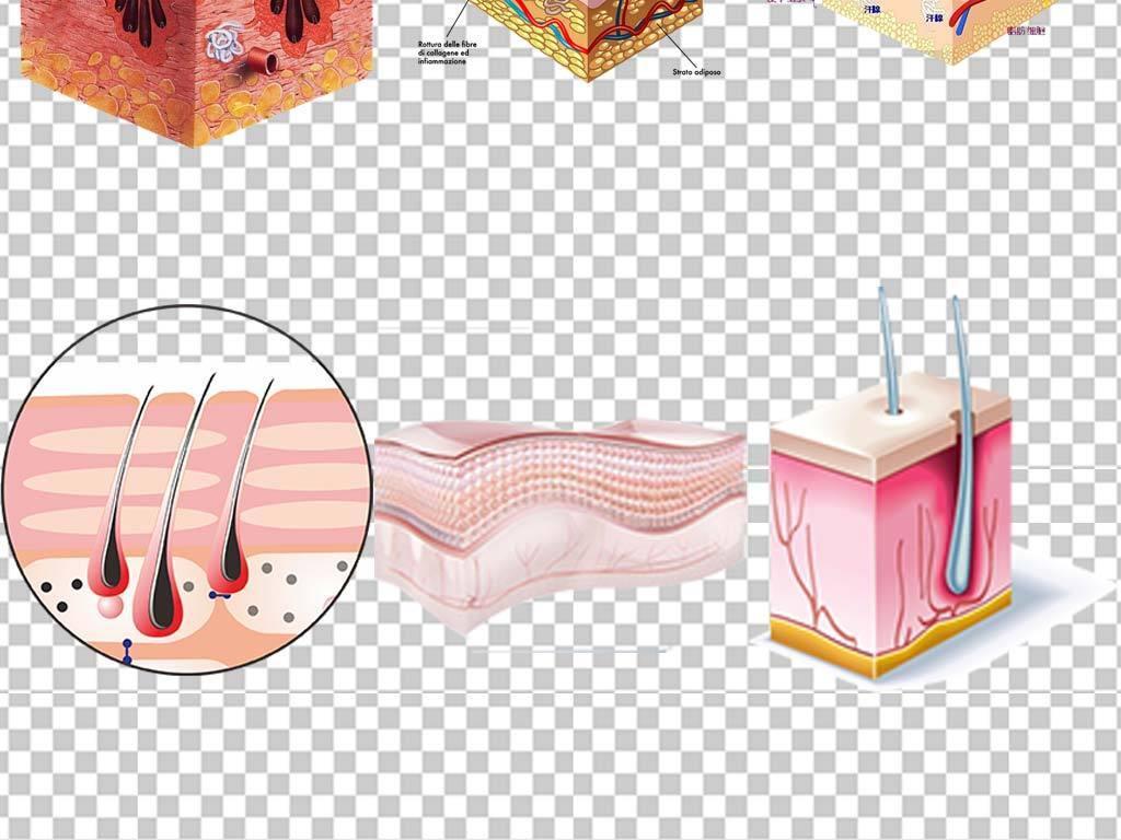 皮肤层结构png素材