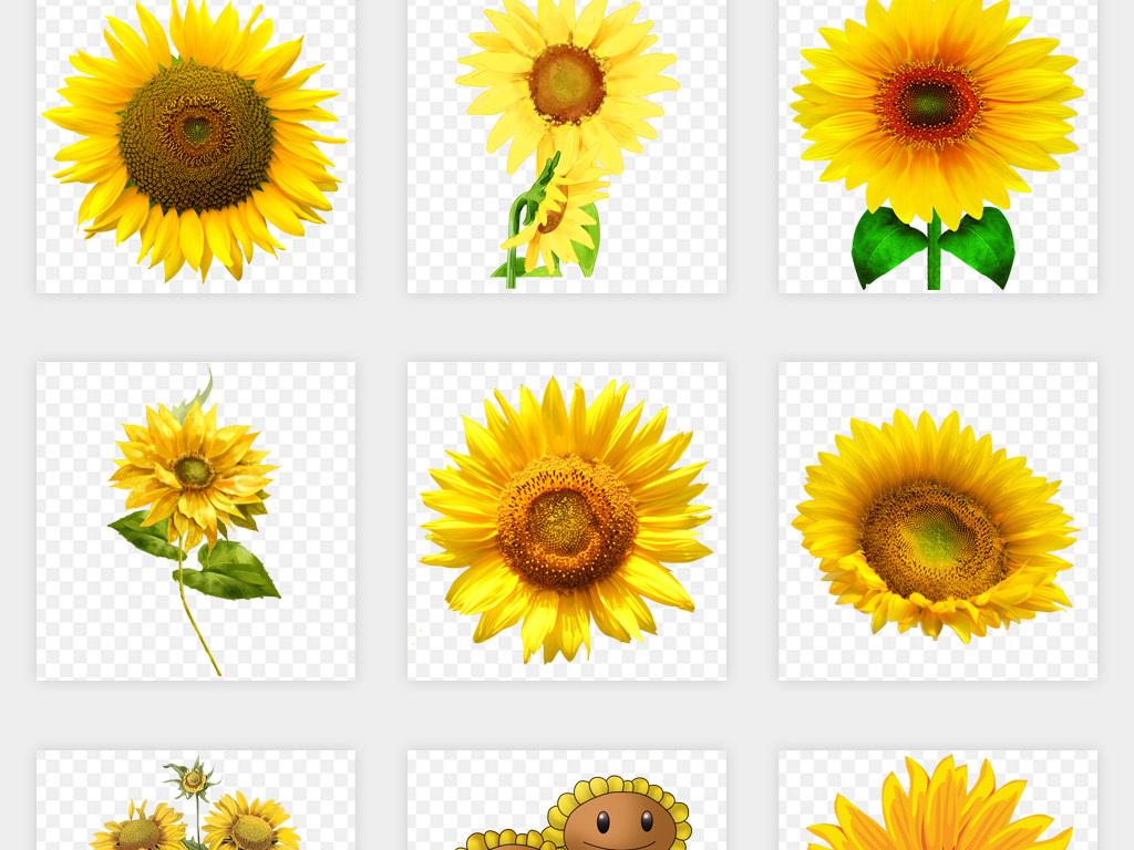 卡通手绘向日葵太阳花葵花籽png免扣素材