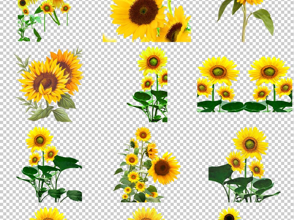 卡通手绘向日葵太阳花葵瓜子png背景素材