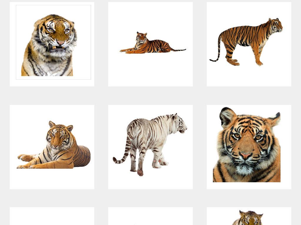 动物园老虎森林之王海报背景小报png素材