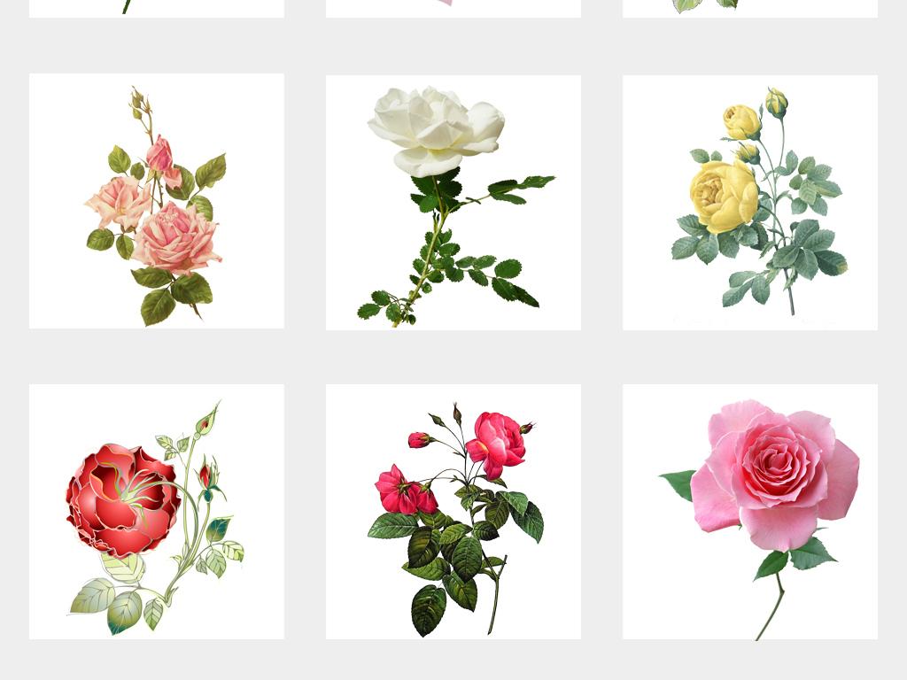 唯美手绘实物花朵水彩手绘月季花png免扣素材
