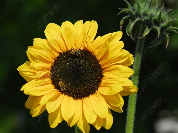 夏日向日葵盛开