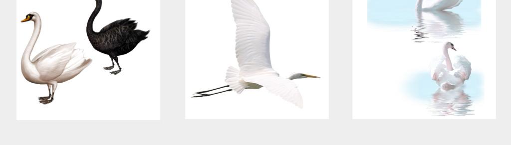 手绘唯美白天鹅实物动物黑天鹅素材png免扣元素