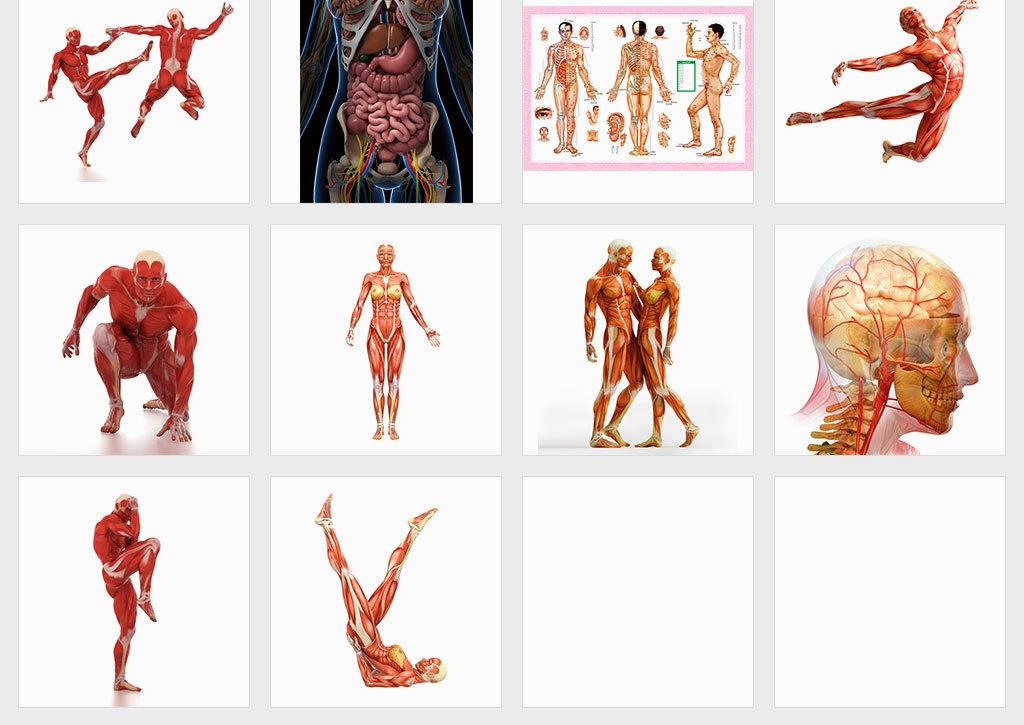 人体肌肉分布图_独立jpg/人体肌肉器官穴位分布图人体肌肉组织素材