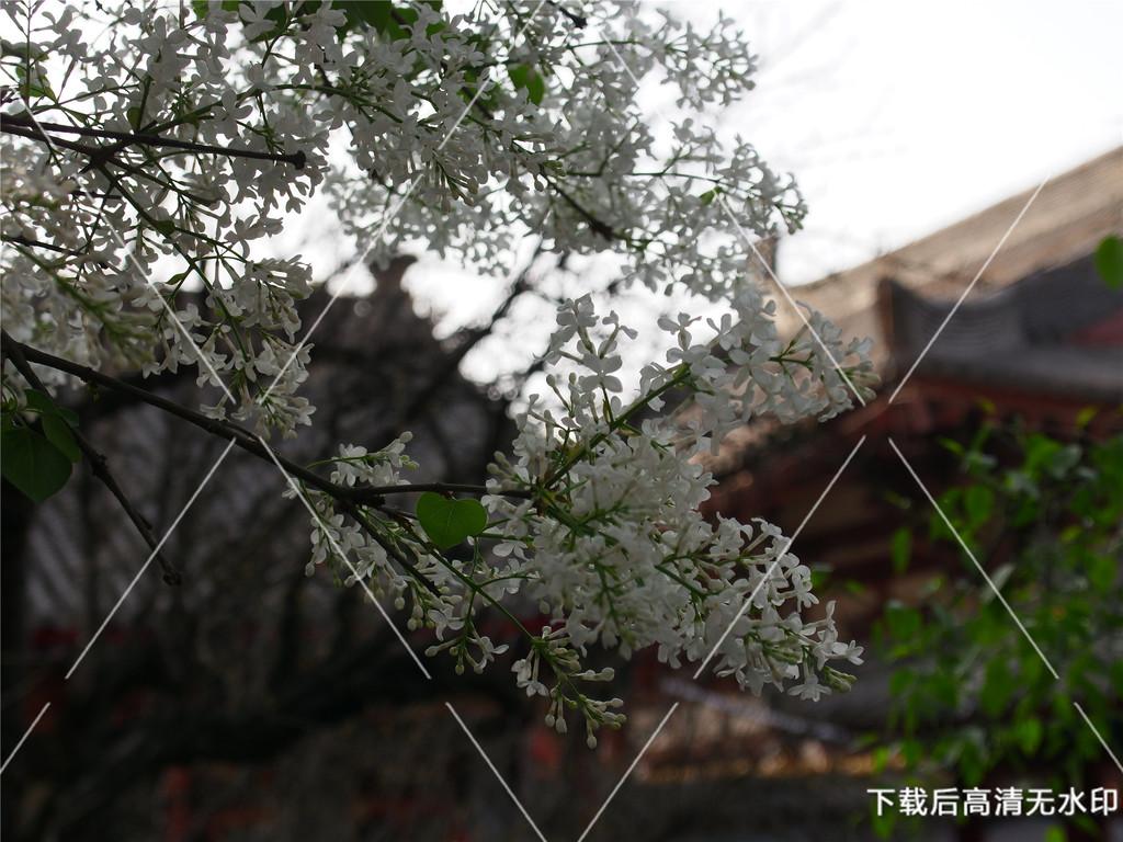 梨花和古风建筑