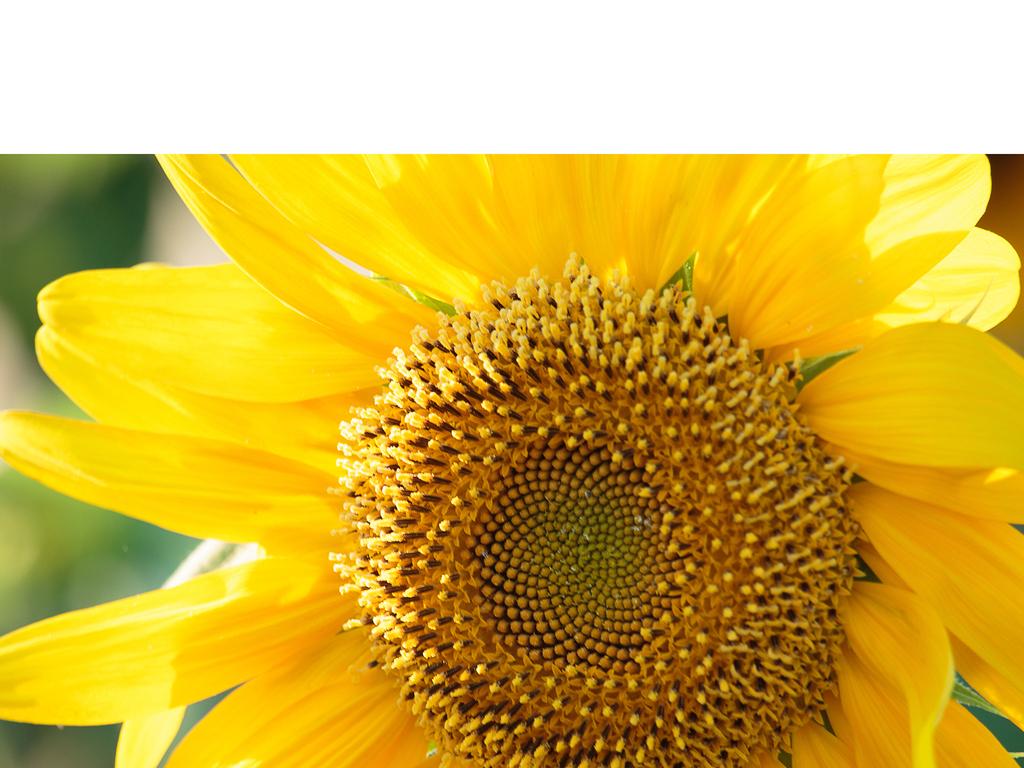 """摄影图集:向日葵,代表""""阳光""""的向日葵,你喜欢吗?"""