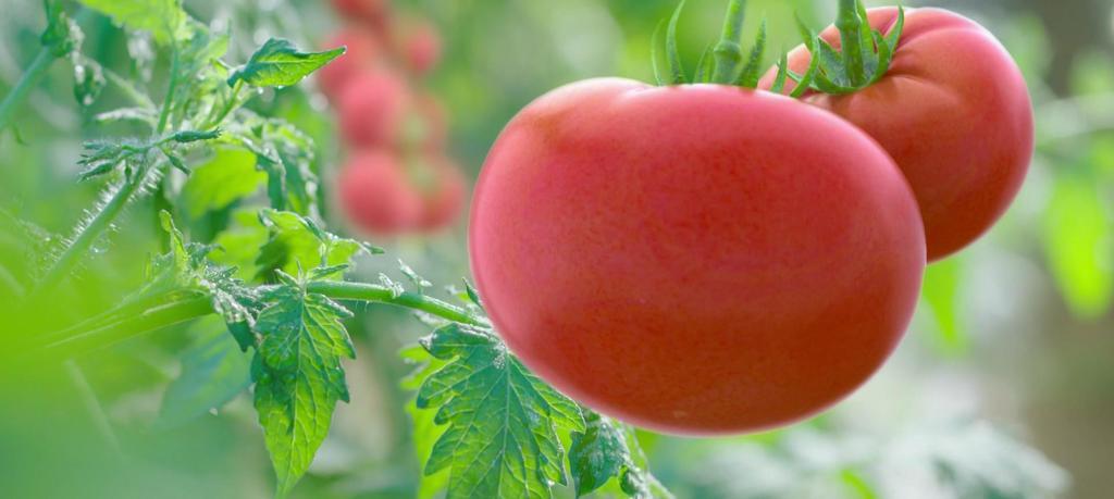 西红柿生长过程图片设计素材 高清模板下载 94.35MB 其他大全