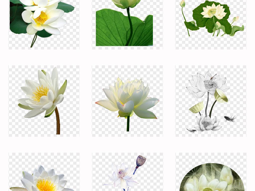 50款手绘白色荷花荷叶png素材图片_模板下载(77.07mb)
