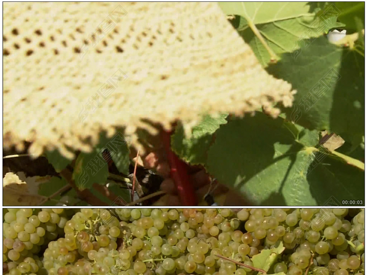 葡萄园农民剪葡萄果园葡萄摘葡萄果实农业丰收农民农村大丰收