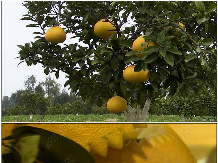 台州玉环文旦果树水果餐桌美食脱贫致富农民劳作农活