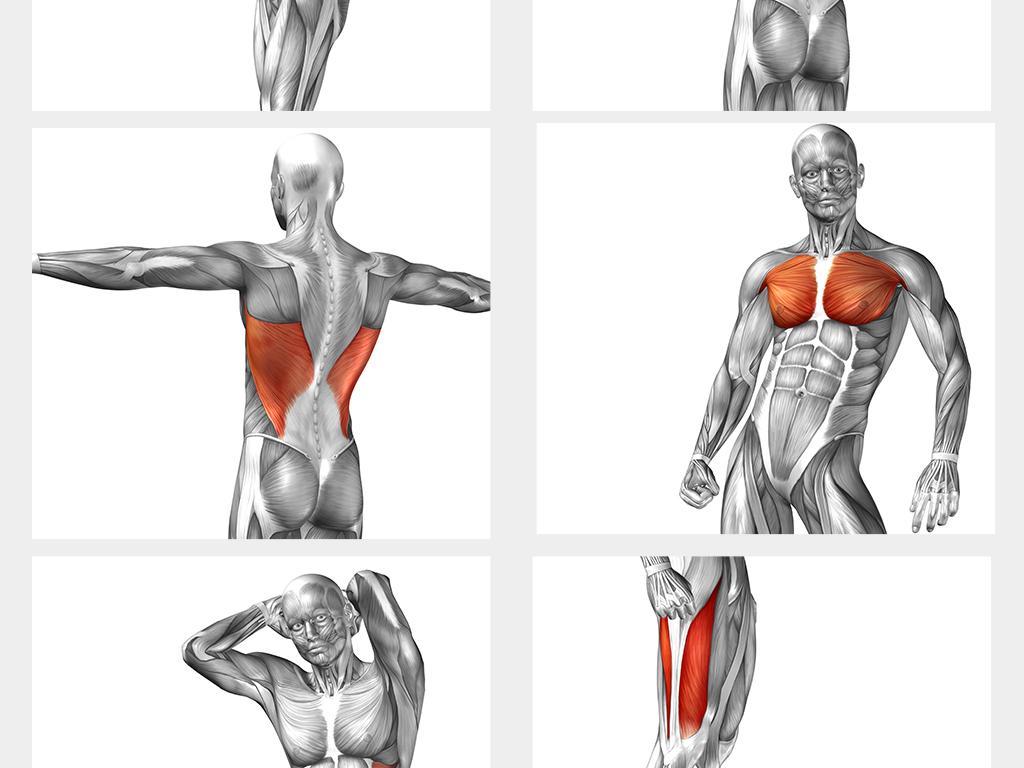 人体肌肉分布图_中医高清人体经脉穴位图肌肉组织分布图