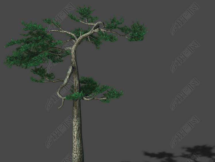 华山-植物-松树04