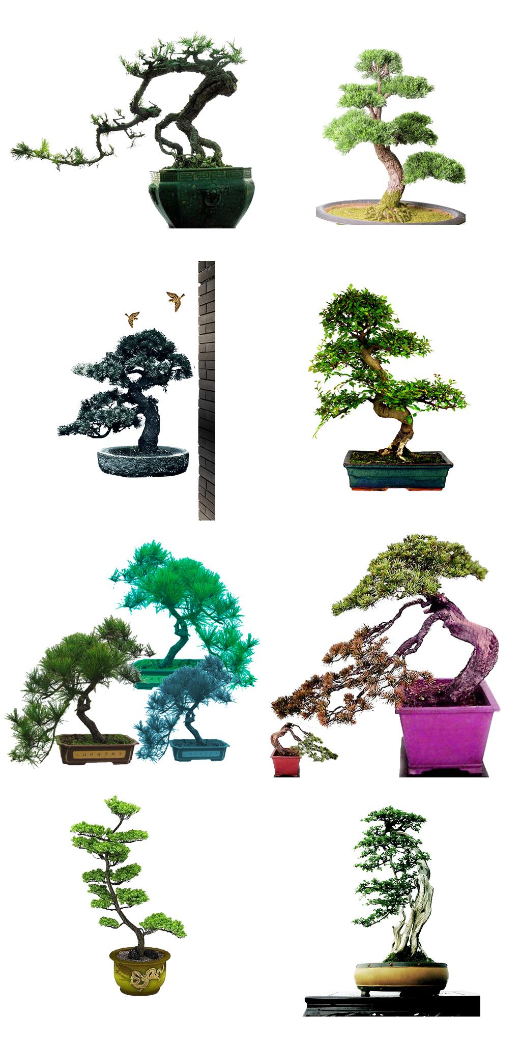 盆栽迎客松植物png图片素材