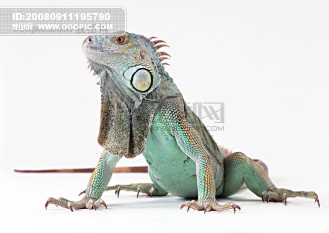 小动物 壁虎 动物世界 爬行动物 蜥蜴 变色龙 珍稀动物 稀有动物