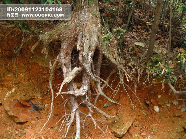 树根 树枝图片设计素材 高清JPG模板下载 6.96MB stonezain分享 背景素材大全